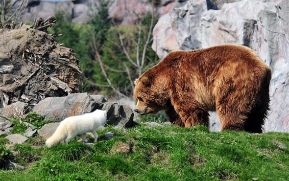 Обои Бурый медведь и песец