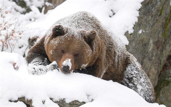 Обои Бурый медведь, взгляд, снег, зима