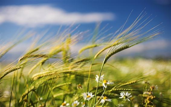 Wallpaper Chamomile flowers, wheat, wind