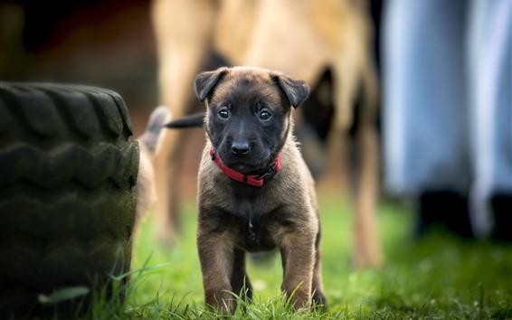 Wallpaper Cute belgian shepherd dog front view