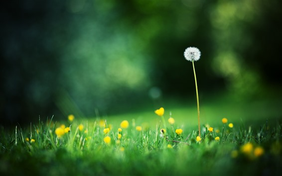Wallpaper Dandelion and yellow flowers, green grass