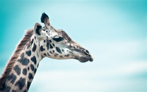 Hintergrundbilder Giraffe, Kopf, blauer Himmel Hintergrund