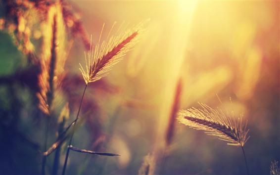 Обои Трава, теплый свет, утро