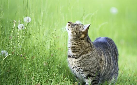 壁紙 灰色の猫は緑の草を見上げます