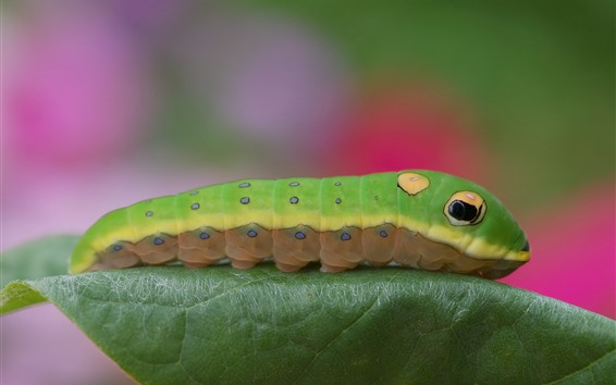 Wallpaper Green caterpillar, leaf, insect
