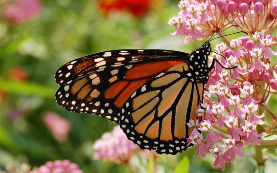 Wallpaper Insect, butterfly, pink flowers, spring