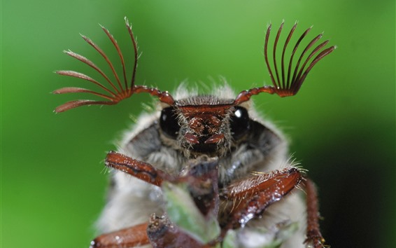 Wallpaper Insect macro photography, beetle, antennae