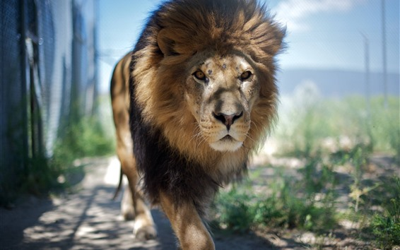 Wallpaper Lion walk to you, mane, front view, zoo