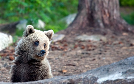 Wallpaper Little brown bear look at you, wildlife