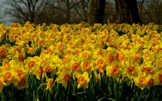 壁紙 多くの黄色い水仙の花、庭