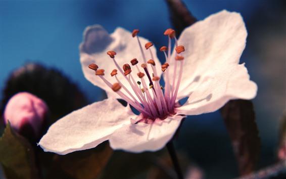 Wallpaper One pink flower close-up, petals, pistil, spring