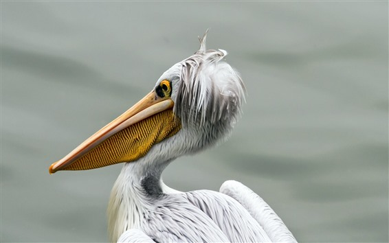 壁紙 ペリカン、鳥のクローズアップ、くちばし、白い羽