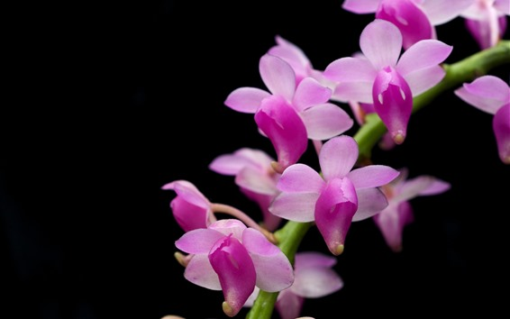 Обои Фаленопсис, розовые цветы, черный фон