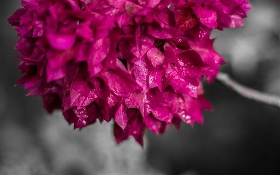 壁紙 ピンクのブーゲンビリア、花びら、ウェット