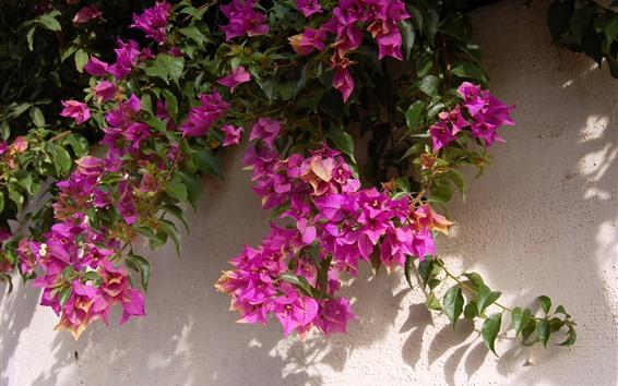 배경 화면 핑크 부겐빌레아, 벽