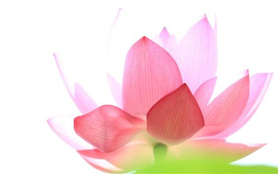 Wallpaper Pink lotus, petals, white background