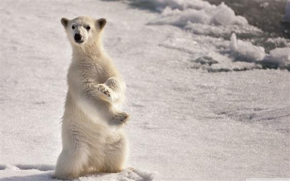 Papéis de Parede Filhote de urso polar, em pé
