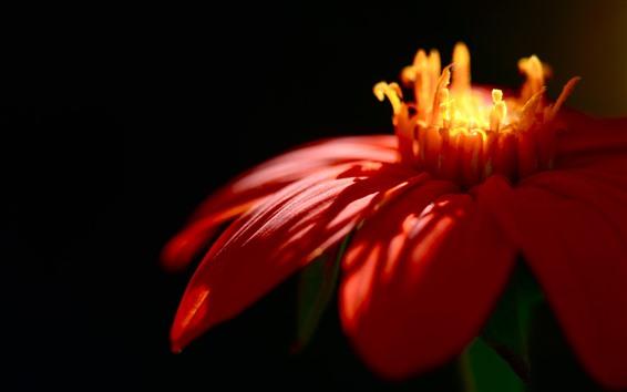 Papéis de Parede Close de pétalas de flores vermelhas, luz do sol
