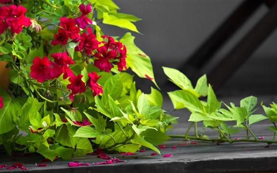 Fondos de pantalla Flores rojas, hojas verdes, enredadera