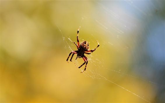 壁紙 クモ、web、昆虫、かすんでいる背景