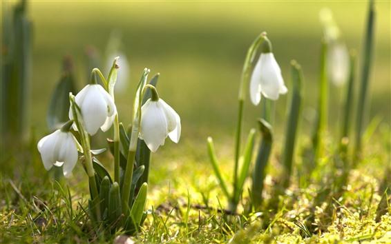 Hintergrundbilder Frühlingsblumen, weiße Schneeglöckchen
