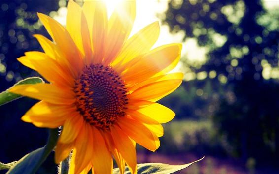 Wallpaper Sunflower close-up, yellow petals, backlight