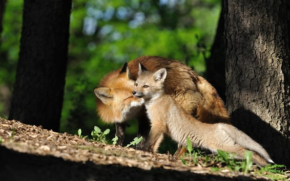 Wallpaper Two foxes, mother and cub