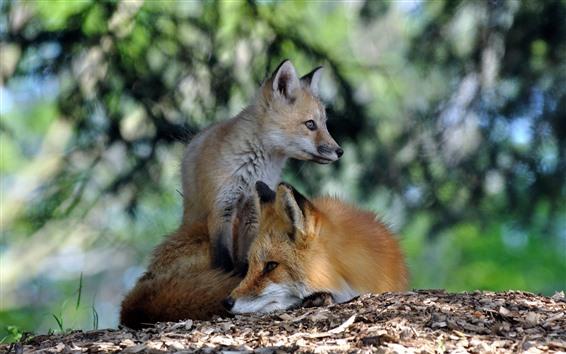 Fond d'écran Deux renards, repos