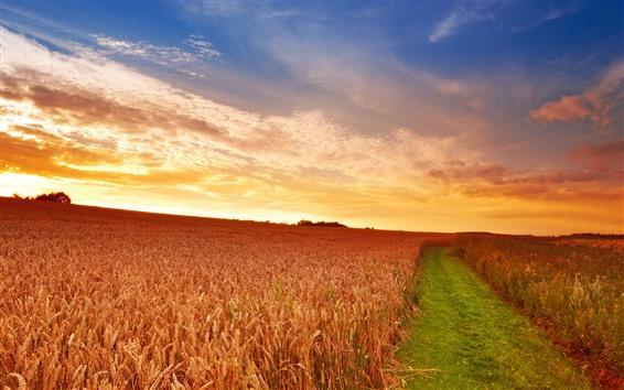 Fond d'écran Champ de blé, coucher de soleil, chemin