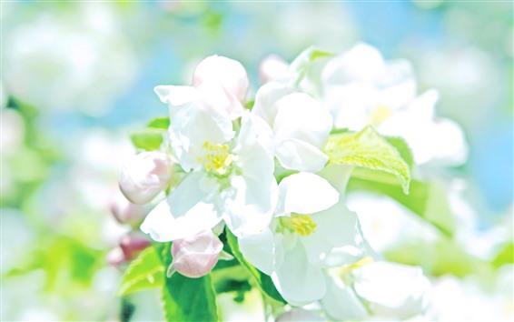 Fondos de pantalla Flores de manzana blanca, pétalos, brillante, primavera