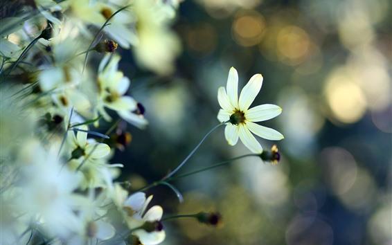 Wallpaper White flower petals, backlight, hazy