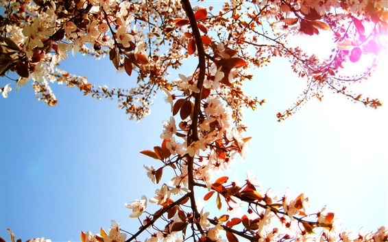 배경 화면 흰 꽃이 피고, 나뭇 가지, 햇빛, 봄