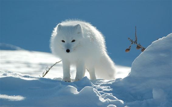 Wallpaper White fox, front view, snow