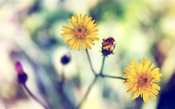 桌布 黃色的小花特寫鏡頭,花瓣,莖