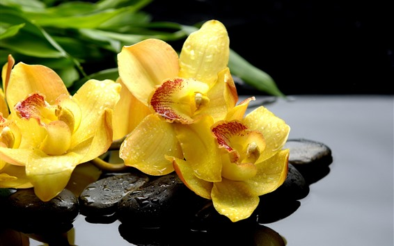 Wallpaper Yellow phalaenopsis, flowers, water droplets, stones