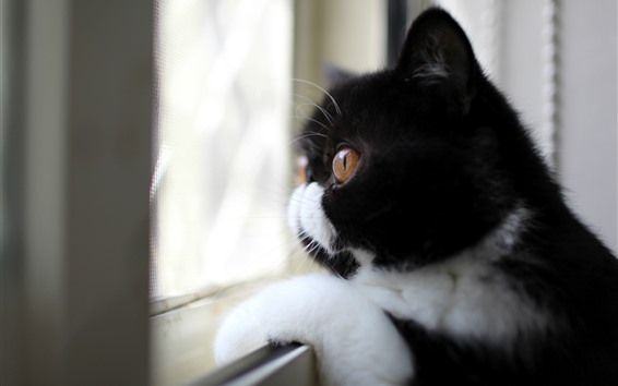 Обои Черная кошка смотрит в окно, лицо, глаза