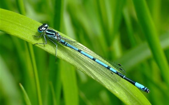 Fond d'écran Libellule bleue, repos, herbe verte