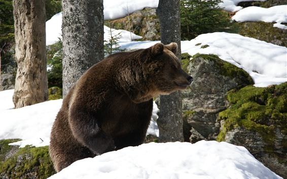 Wallpaper Brown bear, snow, winter, rocks