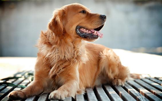 Papéis de Parede Cachorro marrom, descanso, banco