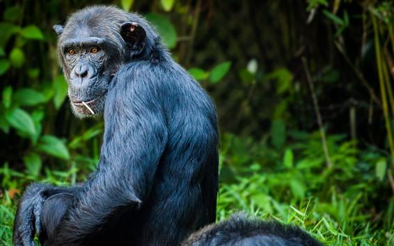 Wallpaper Chimpanzee look back, eyes, hazy background