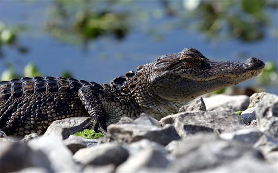 Wallpaper Crocodile, rest, rocks