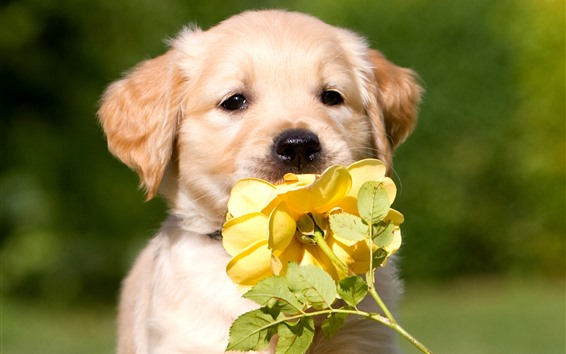 Wallpaper Cute dog and yellow rose