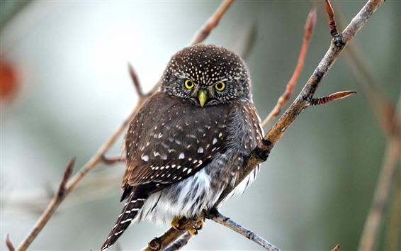 Wallpaper Cute owl, twigs, tree, look