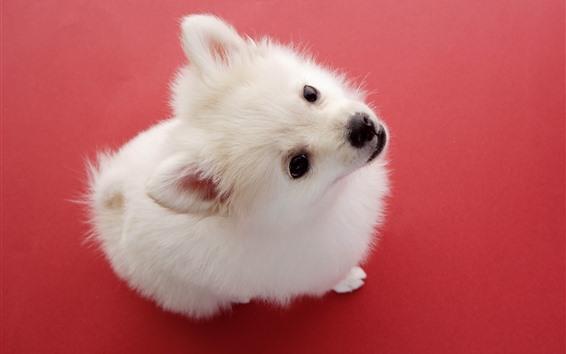 Papéis de Parede Cachorro branco fofo, olha, fundo vermelho