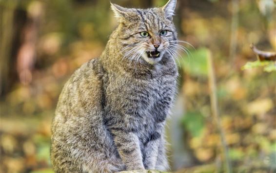 Wallpaper Forest, wildcat, sit, teeth