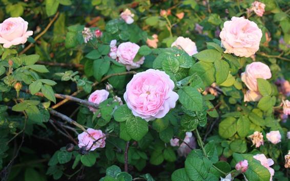 Wallpaper Garden, pink roses, green leaves, sunshine
