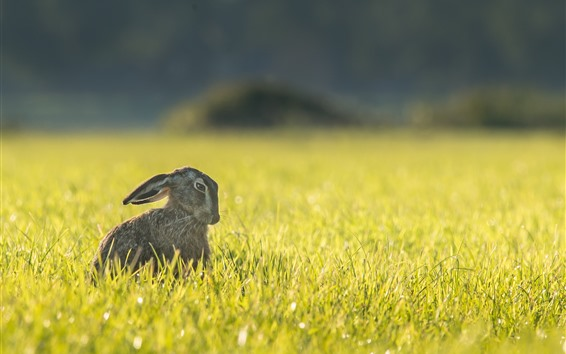 Wallpaper Hare, grass, summer