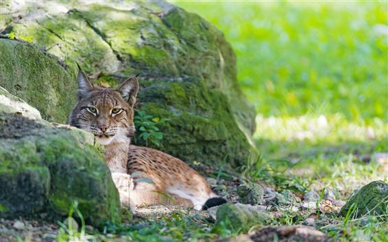 Wallpaper Lynx, stone, moss