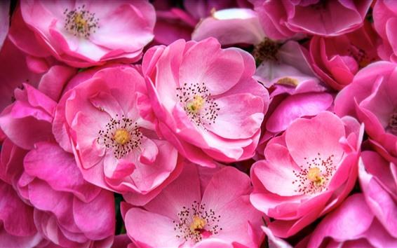 壁紙 多くのピンクの花、花びら、春、マクロ写真