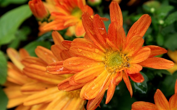 Wallpaper Orange gerbera flowers, water